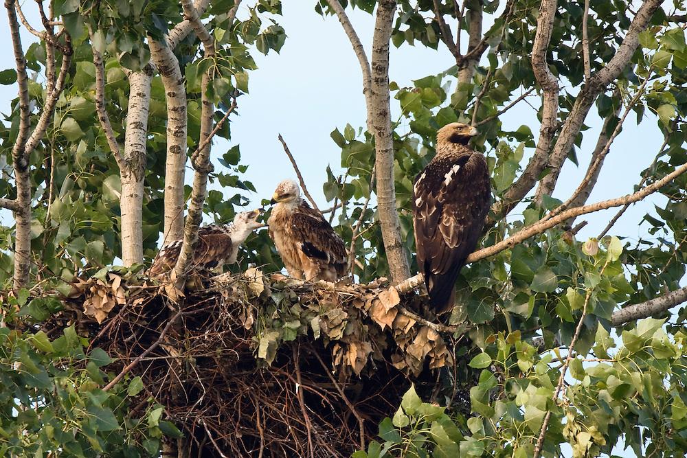 Kaiseradler mit Jungen am Nest, Aquila heliaca, Ost-Slowakei / Eastern Imperial Eagle with chicks at nest, Aquila heliaca, East Slovakia