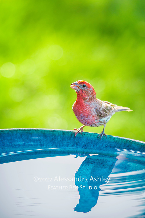 Brightly colored male house finch backlit at sunset with reflection in birdbath.