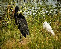 African Openbill and Little Egret. Chobe river, Botswana.  Image taken with a Nikon 1 V3 camera and  70-300 mm VR lens.