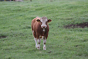 semmental, cattle, bull, livestock, farming, ireland, grass, field,