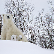 Polar Bear (Ursus maritimus) mother with very young cubs just leaving their winter den. Churchill, Manitoba, Canada.