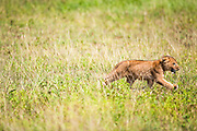 lion (Panthera leo) cub in the grass. Photographed in Tanzania