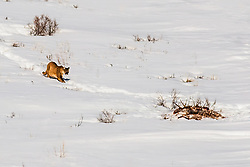Mountain Lion going to dig up the carcass he had burried in Jackson Hole Wyoming