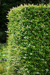 Ligustrum ovalifolium - Privet hedge