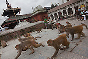 Monkeys are returning to the forrest after having feasted on donated food in the temple all morning. Along the Bagmati River next to the Pashupatinath Temple complex are ten alocated spaces for cremation and all day funerals are being held. The bodies are cremated according to custom and the ashes and remains are swept into the holy waters. The Bagmati runs into the Ganges further South and is considered equally holy to Hindus.