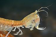 Mantis Shrimp - Rissoides desmaresti