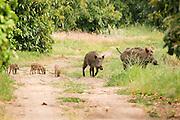A family of wild boar (Sus scrofa)