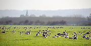 Nederland, Ubbergen, 20-11-2011Wilde ganzen verzamelen zich in weilanden in de Ooijpolder.Foto: Flip Franssen/Hollandse Hoogte