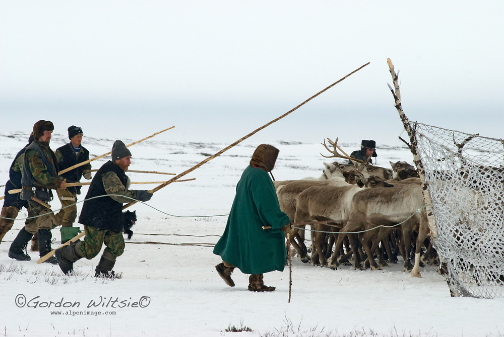 North of the Arctic Circle in Russia, members of the last nomadic Komi clan herd reindeer into a temporary pen where they can select animals to pull their sleds.
