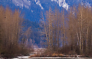 Alaska. Bald Eagles (Haliaeetus leucocephalus) staging along the Chilkat River, Haines.