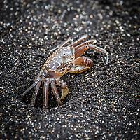 Galapagos Ghost Crab