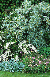 Elaeagnus angustifolia 'Quicksilver' - Oleaster -  with Spiraea nipponica 'Snowmound', cistus and stachys in a border at Ketley's.