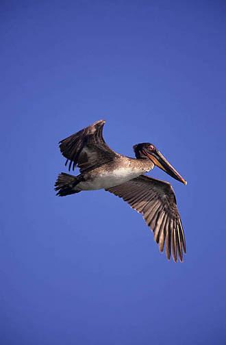 Brown Pelican, (Pelecanus occidentis) In flight. Sea of Cortez. Baja, Mexico.