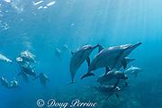 Hawaiian spinner dolphins or Gray's spinner dolphin<br /> ( Stenella longirostris longirostris )<br /> Kona - Hawaii ( Big Island ) Hawaiian Islands<br /> ( Central Pacific Ocean )