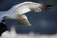 Gannet, Sula bassana,  in flight with nest material Ireland Saltee Islands South East coast