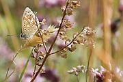 Adonis blue butterfly (Polyommatus bellargus). Dorset, UK.