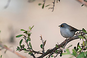 Birding Images from Madera Canyon, Tucson, AZ