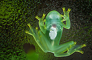 Glass frog<br /> (Centrolenidae Family) (Hyalinobatrachium sp.)<br /> Amazon rain forest. SE ECUADOR<br /> These frogs spend the day flattened on the underside of leaves such that when viewed backlit against the light their transparency affords them perfect camouflage. From the underside they are completely transparent and their internal organs (heart, spleen, intestines, lungs) and bones can be seen through their skin.  They feed mainly at night.