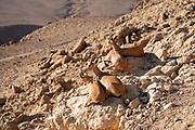 Female Nubian Ibex (Capra ibex nubiana AKA Capra nubiana) caring for her young Photographed in Israel, Negev Desert in October