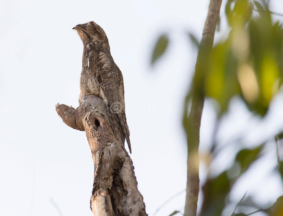 Common potoo (Nyctibius griseus) from the Amazon rainforest, Brazil.