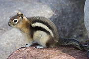 Golden-Mantled Ground squirrel.(Spermophius lateralis).Jasper National Park, Canada..