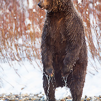 Grizzly bear standing in the water of the Fishing Branch River at the base of Bear Cave Mountain in the Yukon Territory Canada.
