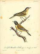 Male and Female Gobe-mouches Etoile from the Book Histoire naturelle des oiseaux d'Afrique [Natural History of birds of Africa] Volume 4, by Le Vaillant, Francois, 1753-1824; Publish in Paris by Chez J.J. Fuchs, libraire 1805