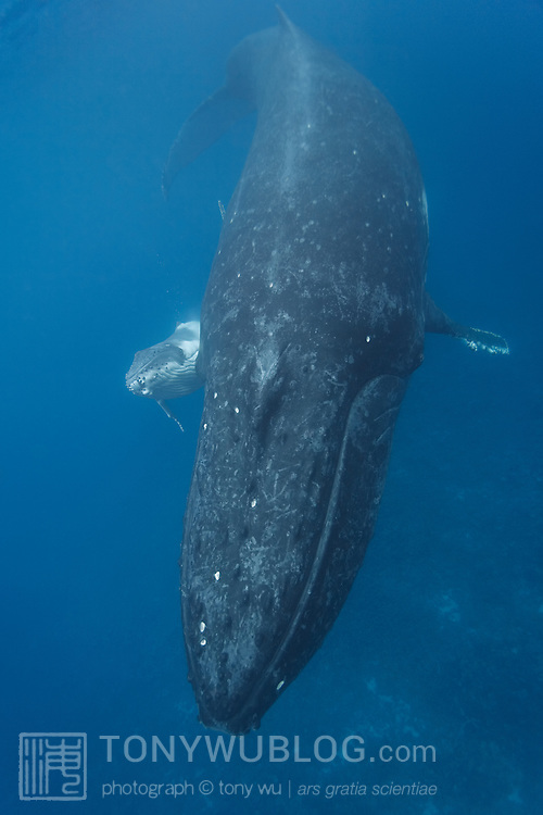 Adult female humpback whale (Megaptera novaeangliae) with Hina Hina, humpback whale calf #1 of the 2007 season in Vava'u, Tonga. The juxtaposition of mother and calf shows the relative size between adult and baby.