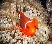 Clownfish forms symbiotic mutualisms with sea anemone at House Ree, Tufi, Papua New Guinea