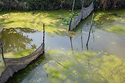 Algae growing on top of the water of a fish farm on the 2nd of October 2018 in Satkhira District, Bangladesh. Satkhira is a district in southwestern Bangladesh and is part of Khulna Division. It's main contributors to the economy are shrimp, fish and paddy farming. It is on the bank of the Arpangachhia River.