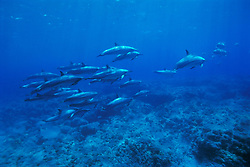 Long-snouted Spinner Dolphins over coral reef, Stenella longirostris, off Kona Coast, Big Island, Hawaii, Pacific Ocean