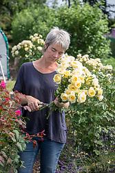 Rachel Siegfried removing thorns from Rosa 'Irish Hope' syn. 'Harexclaim'