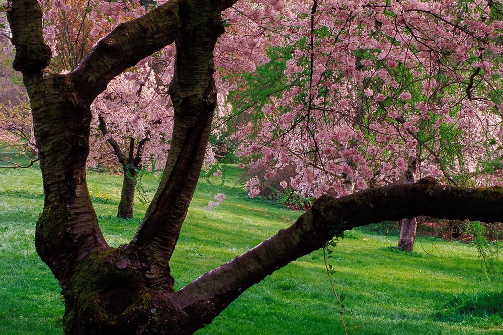 Cherry blossoms, spring, Washington Park Arboretum, Seattle, Washington, USA