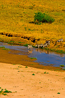 Herd of zebra crossing the Tarangire River, Tarangire National Park, Tanzania