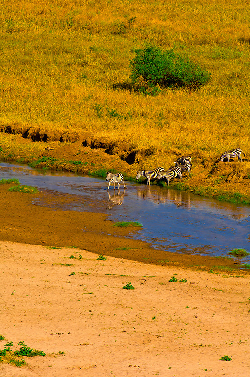 Herd of zebra crossing the Tarangire River, Tarangire National Park, Tanzania