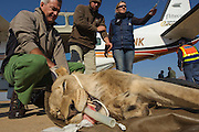 Lion darted for relocation to Malawi (Panthera leo)<br /> Intubated anaesthetized lion at airfield for flight transportation<br /> Pilansberg Game Reserve<br /> North West Province<br /> SOUTH AFRICA
