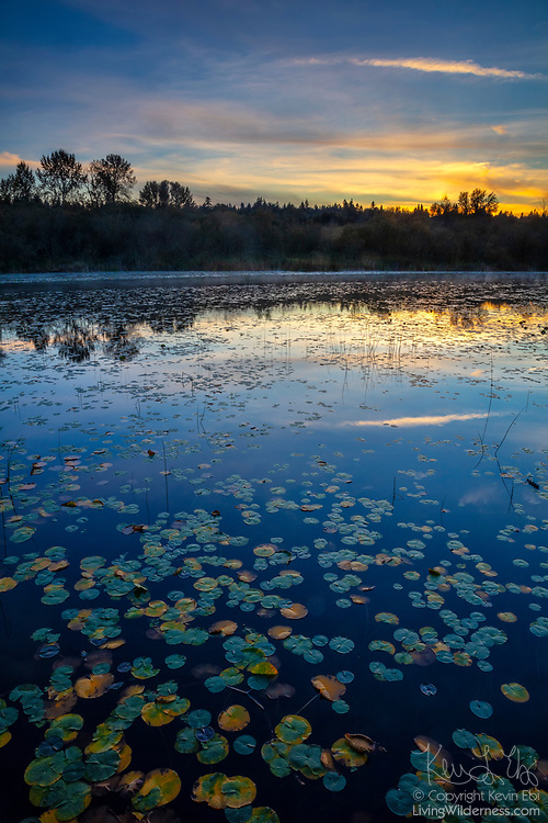 Numerous water lily pads turn yellow in autumn, mimicking the golden color of a sunset over Lake Sammamish in this view from Marymoor Park in Redmond, Washington. The fragrant water lily is a perennial aquatic plant, typically found in freshwater lakes and ponds and slow-moving streams where the water has a depth of between 3 to 6 feet (1 to 2 meters).