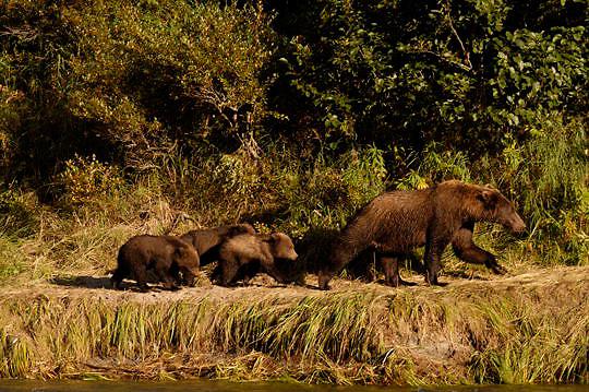 Alaskan Brown Bear (Ursus middendorffi) Femlae with three young cubs following her down rivers edge. Katmai National Park. Alaska. Summer.