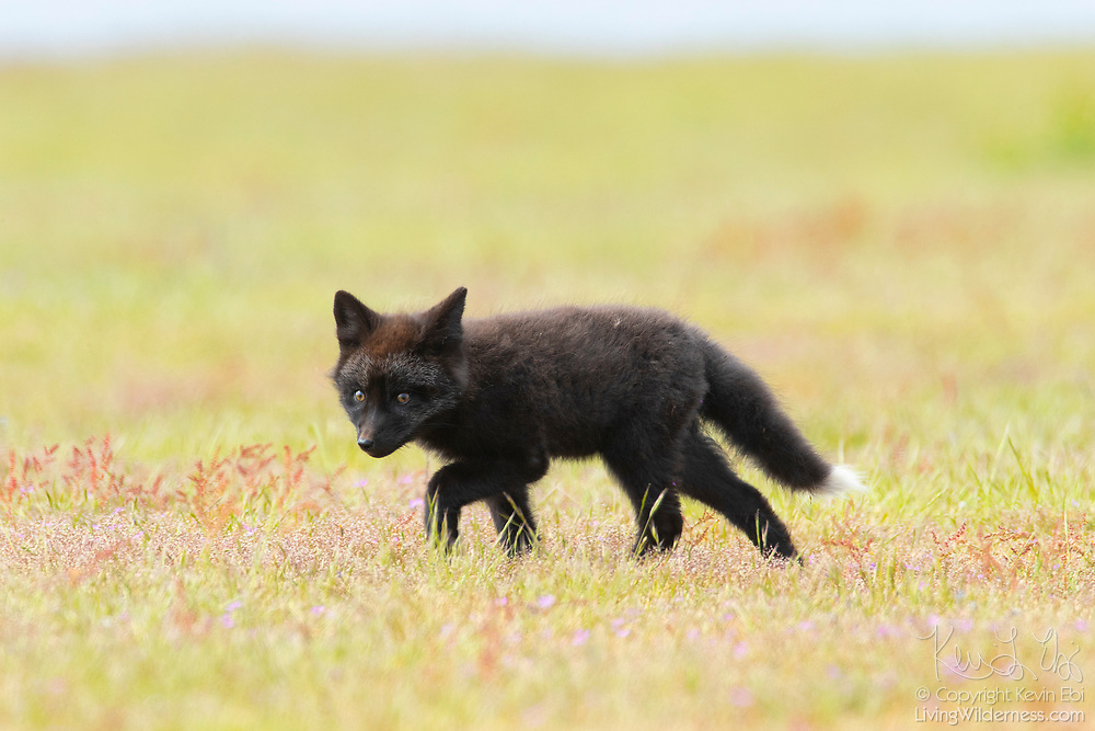 A young red fox (Vulpes vulpes) kit walks in the colorful prairie of the San Juan Island National Historical Park on San Juan Island, Washington. All of the foxes in the park are technically red foxes, even if they are black, silver or tan. Red foxes were introduced to San Juan Island on various occasions in the 1900s.