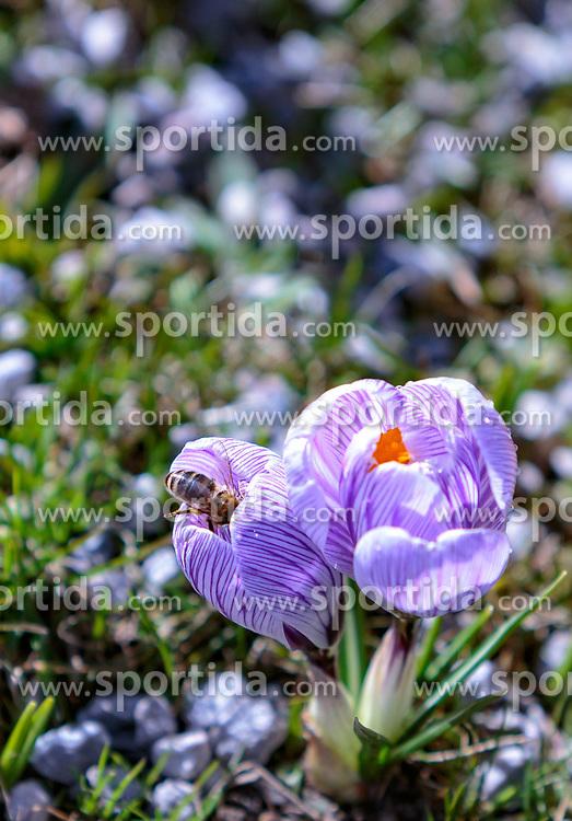 THEMENBILD - eine Biene sitzt in einer Krokusblüte (Iridaceae), aufgenommen am 13. März 2018, Piesendorf, Österreich // a bee sits in a crocus blossom (Iridaceae) on 2018/03/13, Piesendorf, Austria. EXPA Pictures © 2018, PhotoCredit: EXPA/ Stefanie Oberhauser