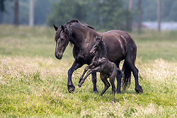 Horses in the field<br /> Mendonk 2020<br /> © Hippo Foto - Dirk Caremans<br />  11/06/2020