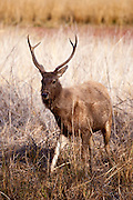 Indian Sambar, Rusa unicolor, male deer in Ranthambhore National Park, Rajasthan, India
