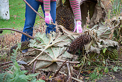 Removing gunnera leaves and placing over the crown to protect them during winter. Gunnera manicata