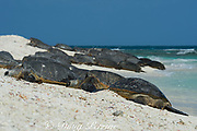 green sea turtles, Chelonia mydas ( Threatened Species ), basking on beach (a behavior common only in Hawaii and one other place in the world) at the primary breeding area for this species in the Hawaiian archipelago, East Island, French Frigate Shoals, Papahanaumokuakea Marine National Monument, Northwest Hawaiian Islands, Hawaii, USA ( Central Pacific Ocean )