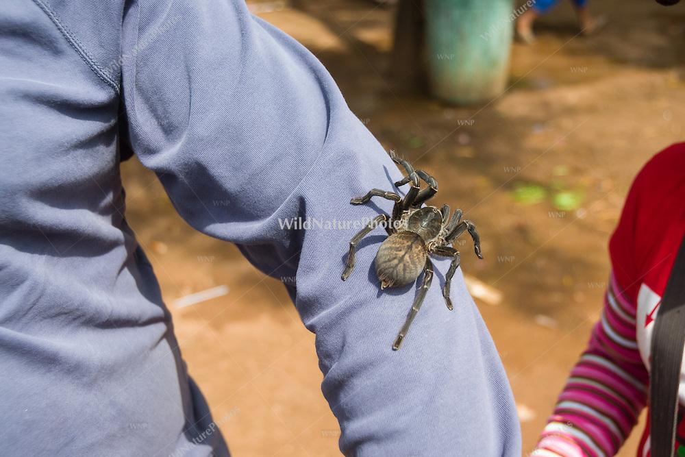 An Edible Tarantula (Haplopelma albostriatum) on display to tourists. (Cambodia)