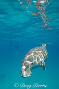 dugong or sea cow, Dugong dugon, Critically Endangered Species, with snorekelers and diver in background, Calauit Island, off Busuanga, Calamian Islands, Palawan, Philippines  ( Mindoro Strait, South China Sea, Western Pacific Ocean )