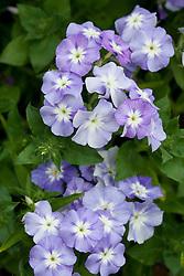 Phlox drummondii 'Lavender Beauty',  Annual phlox