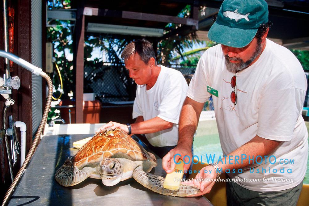 volunteers rub algae off from injured green sea turtle, Chelonia mydas, Marine Center of Juno Beach, Florida