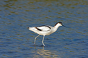 Pied Avocet (Recurvirostra avosetta) in the water, north Israel
