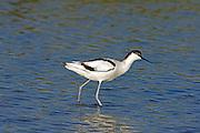 Pied Avocet (Recurvirostra avosetta) in the water, north Israel